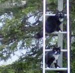 Cats on Ladder #2